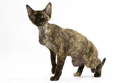 Devon Rex Cat Poster