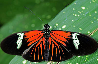 Doris Longwing Butterfly Poster by JT Lewis