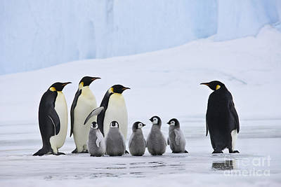 Emperor Penguins And Chicks Poster