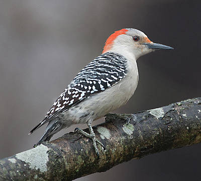 Female Red-bellied Woodpecker Poster