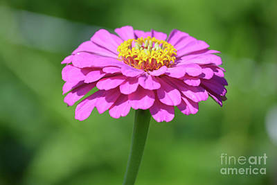 Hot Pink Zinnia  Poster by Ruth Housley