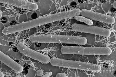 Lactobacillus Acidophilus Poster