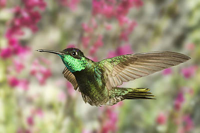 Magnificent Hummingbird Poster by Gregory Scott