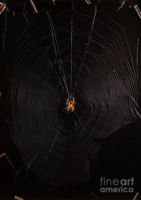 Marbled Orb Weaver Spider Poster by Ted Kinsman