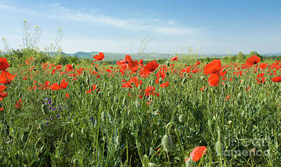 Meadow With Red Poppies Poster