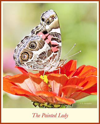 Painted Lady Butterfly On Zinnia Flower Poster