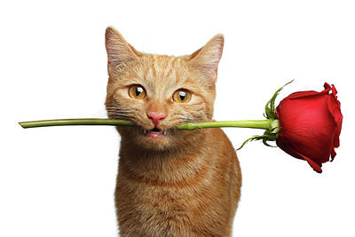 Portrait Of Ginger Cat Brought Rose As A Gift Poster