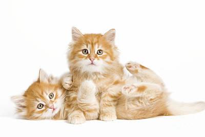Siberian Kittens Poster by Jean-Michel Labat