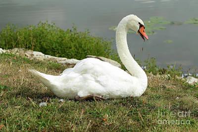 Spring Lake Fish And Wildlife Area - Trumpeter Swan - Cygnus Buc Poster