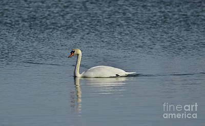 Swan Poster by Esko Lindell