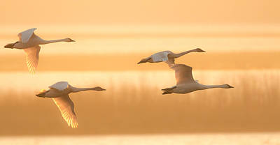 Poster featuring the photograph 4 Swans by Kelly Marquardt