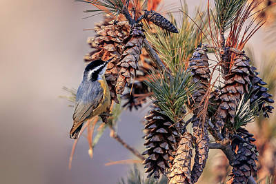 Poster featuring the photograph Black-capped Chickadee by Peter Lakomy