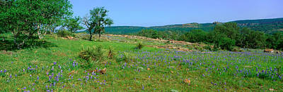 Blue Bonnets In Hill Country, Willow Poster by Panoramic Images