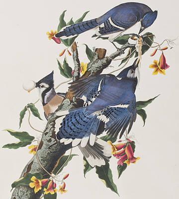 Blue Jay Poster by John James Audubon