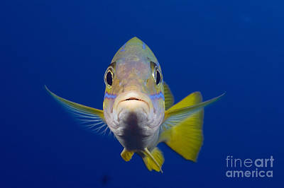 Bluestripe Snapper Poster by Dave Fleetham - Printscapes
