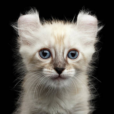 Cute American Curl Kitten With Twisted Ears Isolated Black Background Poster by Sergey Taran