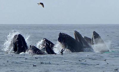 5 Humpbacks Lunge Feeding  Poster