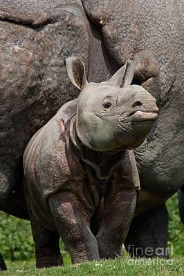Indian Rhinoceros Rhinoceros Unicornis Poster by Gerard Lacz