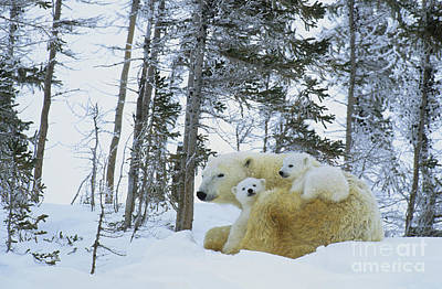 Polar Bear And Cubs Poster by Jean-Louis Klein and Marie-Luce Hubert