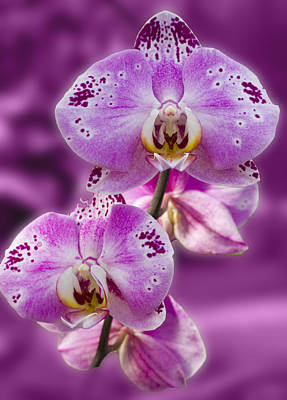 Stunning Orchids Poster by David French