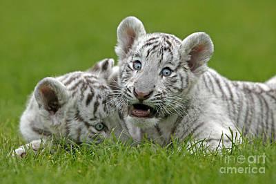 White Tiger Panthera Tigris Poster by Gerard Lacz