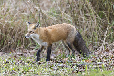Wild Red Fox In The Wild Poster