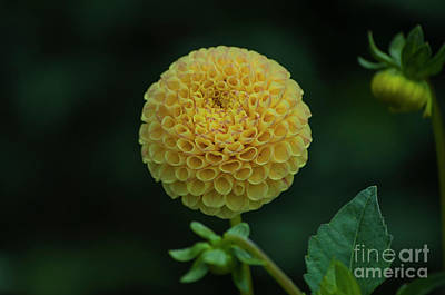 Yellow Dahlia Poster by Mandy Judson