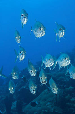 A School Of Bigeye Trevally, Papua New Poster by Steve Jones