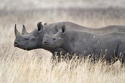 Black Rhinoceros Diceros Bicornis Poster