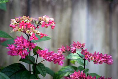 Bleeding Heart Flowers Clerodendrum Painted  Poster