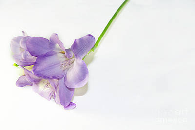Purple Freesia Poster