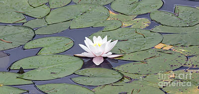 Water Lily In The Pond Poster