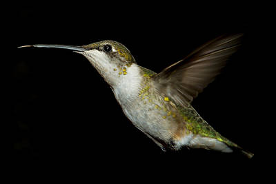 Female Ruby-throated Hummingbird Poster by Robert L Jackson