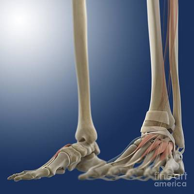 Foot Muscles, Artwork Poster