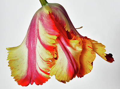 French Tulip Poster