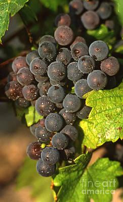 Grapes Growing On Vine Poster by Bernard Jaubert
