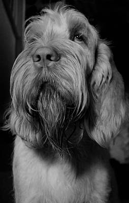 Orange And White Italian Spinone Poster by Heidi Anne Morris