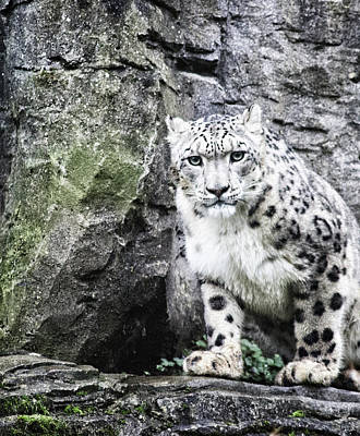 Snow Leopard Poster by Martin Newman