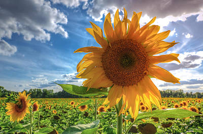 Sunflowers Poster by Steffen Gierok