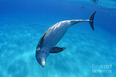 Atlantic Bottlenose Dolphins Poster by Dave Fleetham - Printscapes