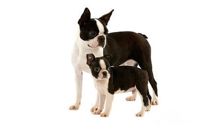 Boston Terrier Dog Poster by Gerard Lacz