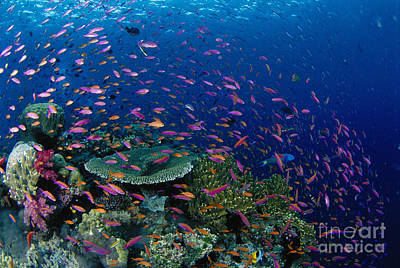 Fiji, Reef Scene Poster by Dave Fleetham - Printscapes