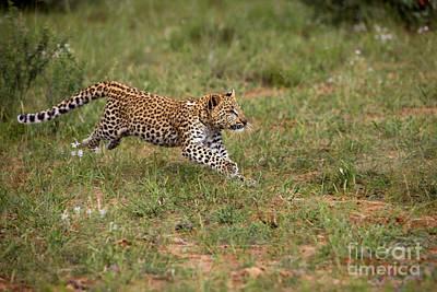 Leopard Panthera Pardus Poster by Gerard Lacz