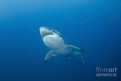 Male Great White Shark, Guadalupe Poster