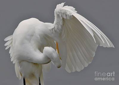 Great White Egret Poster by Paulette Thomas