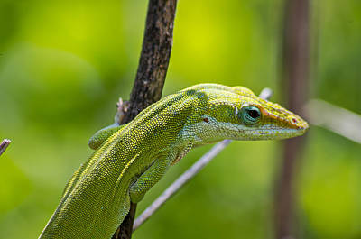 Poster featuring the photograph Green Lizard by Willard Killough III