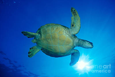 Hawaii, Green Sea Turtle Poster by Dave Fleetham - Printscapes