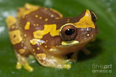 Hourglass Treefrog On A Leaf Poster by Angel Fitor