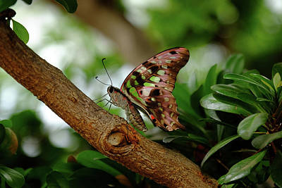 Tailed Jay Poster by Ronda Ryan