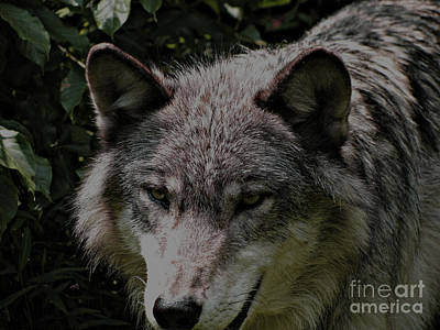 Poster featuring the photograph The Wild Wolve Group B by Debra     Vatalaro